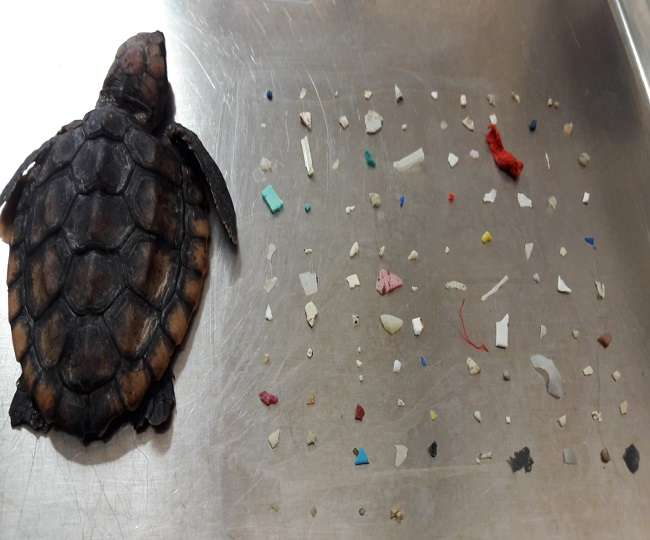 104-plastic-pieces-found-in-dead-baby-turtle-belly